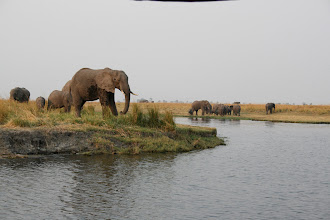 Photo: Elephants on both banks of the Chobe River.