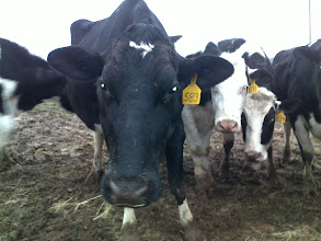 Photo: GDF#583, one of our best cows, poses for the camera.