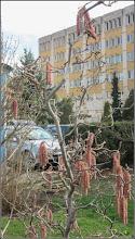Photo: Alun (Corylus avellana 'Contorta)  - de pe Str. Andrei Muresanu, spatiu verde - 2018.03.30
