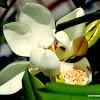 southern magnolia, bull bay