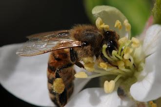 Photo: Bee on apple blossom - look at that proboscis!