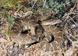 Photo: Rattlesnake - Hansen