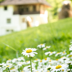 Heaven is Here by Andreea Alexe - Flowers Flower Gardens ( old, grass, green, daisies, white, romania, traditional, carefree, house, yellow, rustic, rural, meadow, summer, flowers,  )