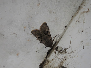 Photo: Priorslee Lake This Hebrew Character moth was resting on the roof of the tunnel under Priorslee Avenue (I learned today that the tunnel is likely to be filled in to make room for the junction realignment needed to get the school coaches in and out of Teece Drive when the new school is opened in 2015. I expect that it why the Council have, after 3 years, cleaned out all the fittings and made all the strip-lights work again) (Ed Wilson)