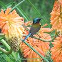 Green tailed sunbird