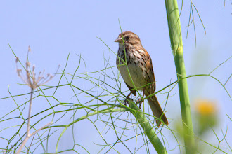 Photo: Song Sparrow