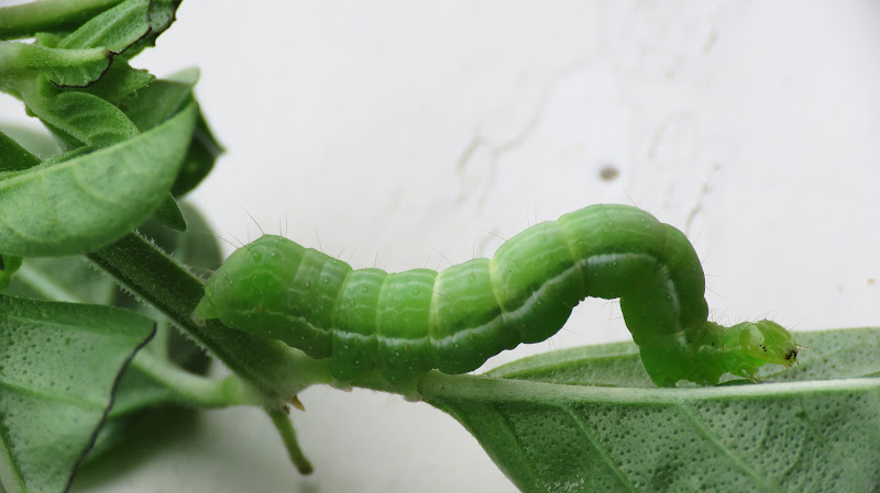 Noctuidae Plusiinae di field