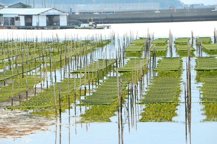 内海湾のあおさ養殖