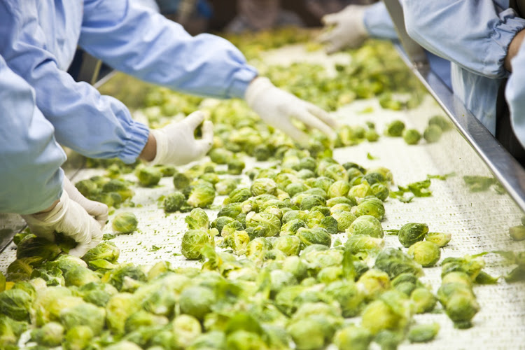 Workers sort through Brussels sprouts on a conveyor belt. Picture: THINKSTOCK