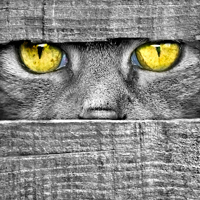 Hypnotizing  by Adrian Campfield - Animals - Cats Portraits ( black and white, wildlife, curves, eyes, cats, england, pets, dark, fur, grey, light, black, animals, uk, patterns, white, atmosphere, yellow eyes, rays, shadows, monocrome, abstracts, turquoise, silhouettes, lines, atmospheric, felines,  )