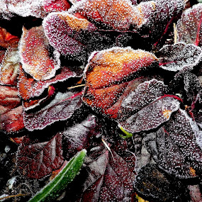 Frosty Leaves 2 by Martin Stepalavich - Nature Up Close Other plants