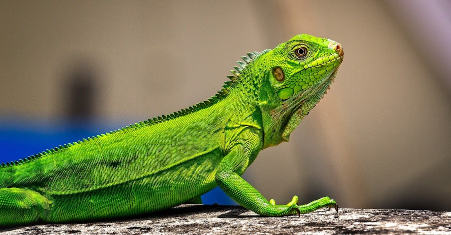 by Fares Ragunath - Animals Reptiles (  )