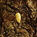Puss moth caterpillar, flannel moth caterpillar