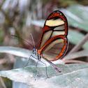 Glass wings butterfly