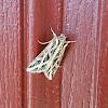 Girdler Moth