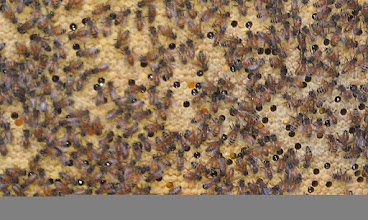 """Photo: A lot of capped brood . . and evidence of """"backfilling"""" of nectar and pollen in this area"""