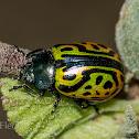 Globemallow Leaf Beetle