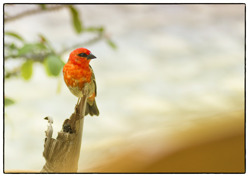 Tropical bird di Roberto Simonazzi
