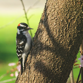 Downy Woodpecker by Susan D'Angelo - Animals Birds ( bird, tree, nature, green, white, woodpecker, bud, springtime, spring, tree trunk, black, flower,  )