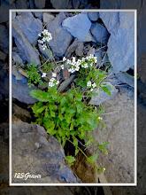 Photo: Hornungie des Alpes, Hornungia alpina