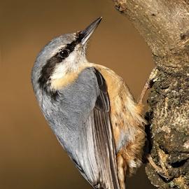 Sitta europaea by Miroslav Socha - Animals Birds