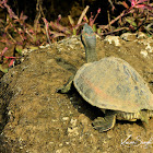 Turtle  -  Indian Tent Turtle