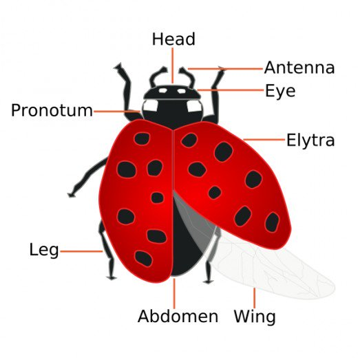 Image result for facts about lady bugs