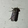 Clemens' Grass Tubeworm Moth