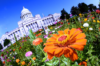 Photo: Zowie.... Zinnias and the Arkansas State Capitol.  I know you must wonder, why so many pictures of the Capitol? It just happens to be the place I work, and I make a habit of breathing as much outdoor air as I can before I walk in in the morning.  Photo Buff stuff. Extra zowie added by way of a second external flash, triggered by the little pop up flash. Extra light coming in from to the left and slightly behind this flower gives it extra zing.  #arkansas  #arkansasphotography  #zinnia