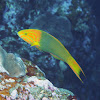 Yellow-brown wrasse
