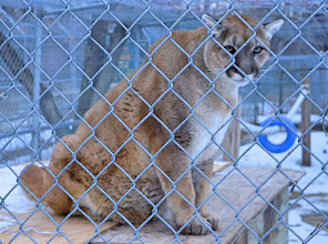 Photo: Cougar, also commonly known as the mountain lion, puma, panther, or catamount, is a large felid native to the Americas. Its range, from the Canadian Yukon to the southern Andes of South America, is the greatest of any large wild terrestrial mammal in the Western Hemisphere. An adaptable, generalist species, the cougar is found in most American habitat types. It is the second-heaviest cat in the New World, after the jaguar.