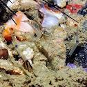 Red Claw Cuapetes Shrimp