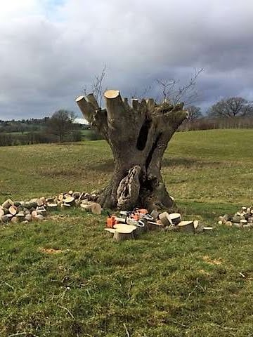 after pruning an ash tree in worcestershire