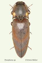 Photo: Pyrophorus sp., 31 mm, Costa Rica, Boca Tapada (10°41´/-84°11´), leg. Gernot Kunz, det. Erwin Holzer