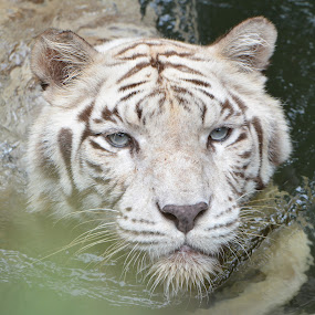 white tiger by Jordan Toh - Animals Lions, Tigers & Big Cats