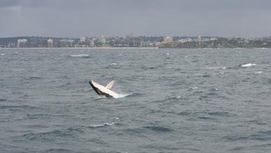 Photo: Breaching humpback whale