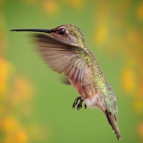 Morning Dance by April Nowling - Animals Birds ( bird, nature, hummingbird, wildlife, hummer,  )