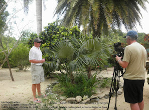 Photo: Silver Thatch Palm - Coccothrinax proctorii Cayman Islands Endangered endemic National Tree, Heritage Garden, Queen Elizabeth II Botanic Park, Grand Cayman. John Lawrus, General Manager of the Park and Paul Fabricius, TV producer. Photo: Ann Stafford, May 26, 2012.