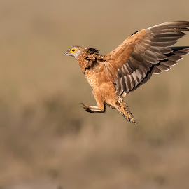 Sandgrouse by Mart-Mari Biggs Duvenhage - Animals Birds ( fly, landing, bird, flying, brown )