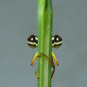 Watching You by Ardika Septyawan - Animals Insects & Spiders ( damselfly )