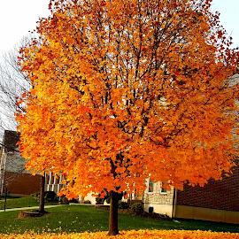 Maple Gold by Vijay Govender - Uncategorized All Uncategorized ( maple tree, fall, yellow, autumn,  )