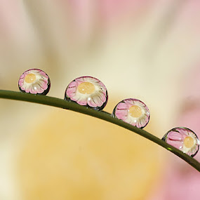 Flower Drops......... by Aroon  Kalandy - Abstract Water Drops & Splashes ( water drops, macro, aroon kalandy, tamron )