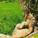 Garrobo, iguana