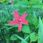 Fire Pink