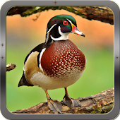 Duck Hunting Calls APK for iPhone
