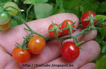 Photo: Pimpinellifolium, een rode bestomaat. De allerkleinste tomaat van ca 5 (10)mm grootte! Zeer decoratief en lichtzurige smaak.