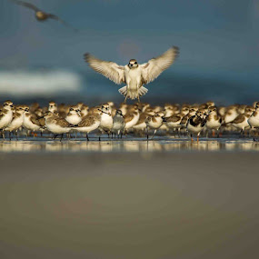 Plovers by Rajesh Srinivasan - Animals Birds ( #dcp#dcpexpidition#akshibeach#rajeshsrinivasan#alibaug,  )