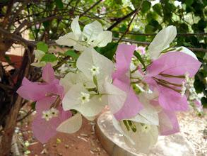 Photo: fleur de bougainvillée