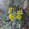 Flor de arruda