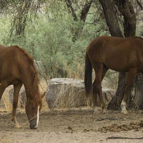 wild mustangs in Arizona by David Shearer - Animals Horses